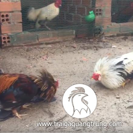 [Video] Chuối mỹ mùa 2 vs Vang bon mat rau