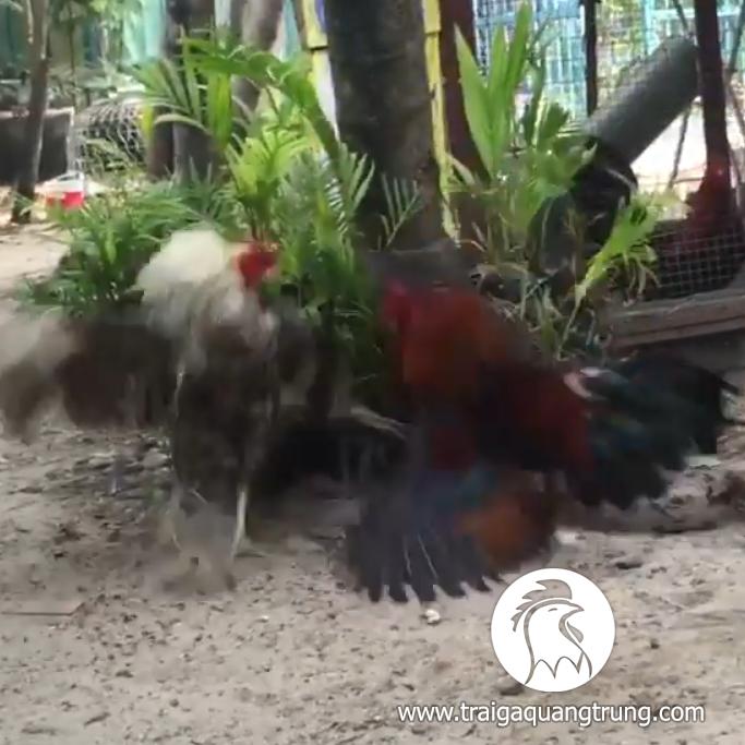 [Video] Jap mỹ điều đỏ vs chuối cú asil lai