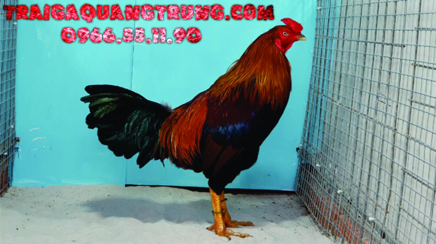 21/1/2021 Top 4 Gà Lông Hang Tuyển Chon - A/e ưng ý LH 0966.55.11.90