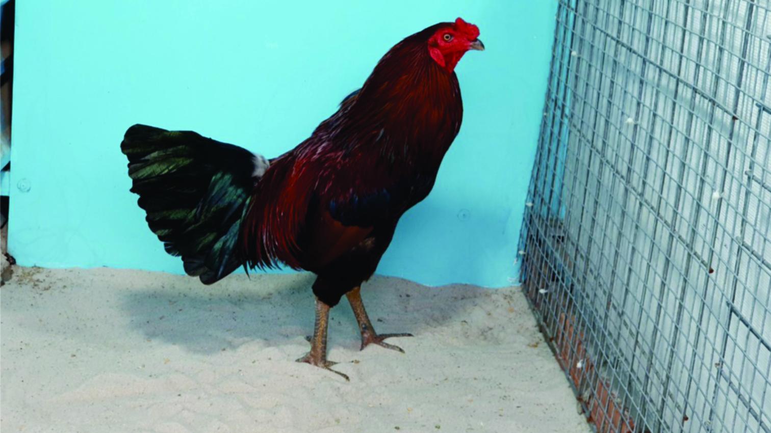 7-4 Top 4 gà Nòi A/e LH : 0966.55.11.90